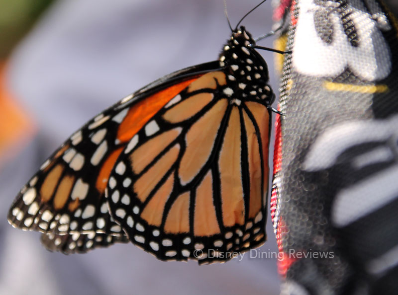 fgf17-butterfly-tent-monarch-on-backpack