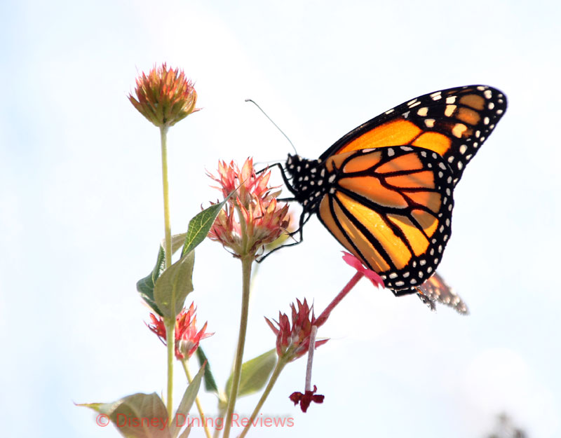 fgf17-butterfly-tent-monarch-on-white